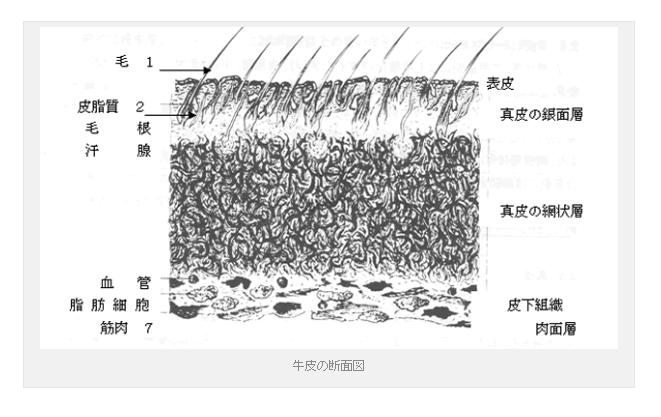 牛皮の断面図